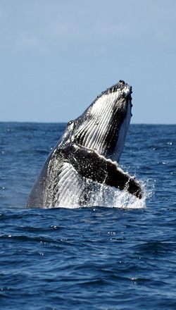 Humpback breaching off Peregian Beach, 2014